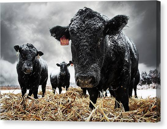 Wy Canvas Print - The Cold Is Bull..... by Thomas Zimmerman