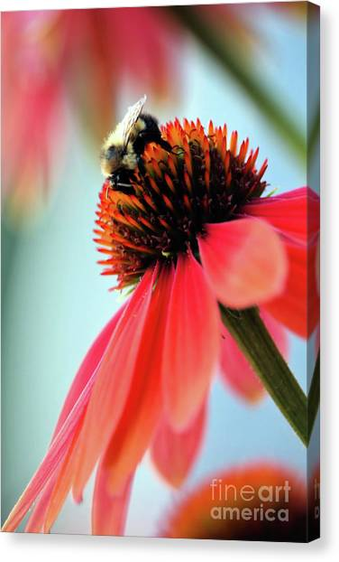 The Coneflower Collection 2 Canvas Print