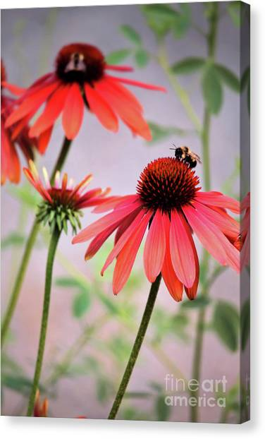 The Coneflower Collection Canvas Print