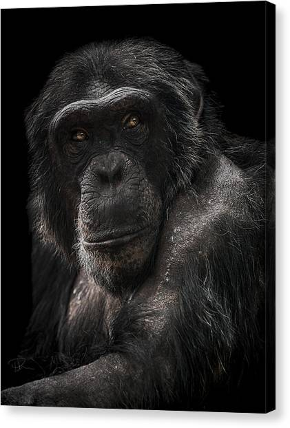 Apes Canvas Print - The Contender by Paul Neville