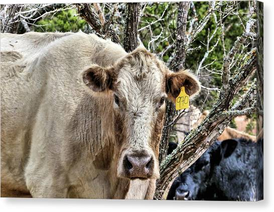 The Cow Canvas Print by JC Findley