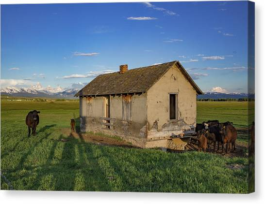 Teton National Forest Canvas Print - The Cows Came Home by Bridget Calip