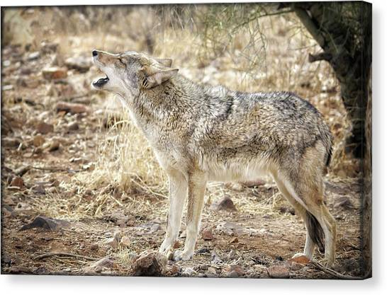 Canvas Print featuring the photograph The Coyote Howl by Elaine Malott