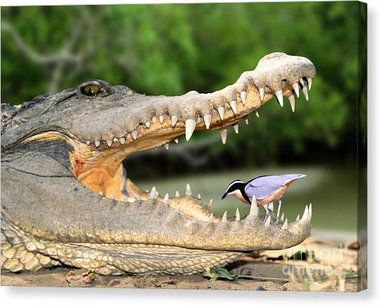 The Crocodile Bird Canvas Print