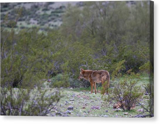 Phoenix Coyotes Canvas Print - The Curious Coyote by Cathy Franklin