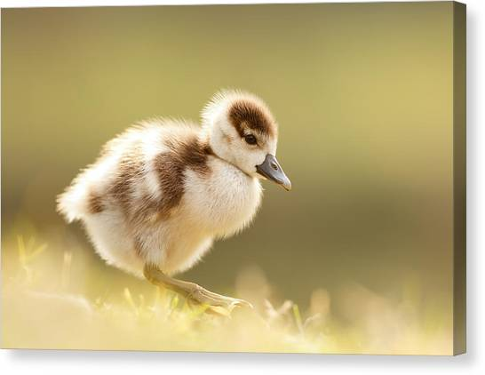 Baby Bird Canvas Print - The Cute Factor - Egyptean Gosling by Roeselien Raimond