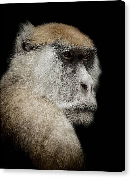 Primates Canvas Print - The Day Dreamer by Paul Neville
