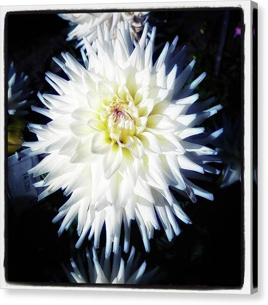 Canvas Print featuring the photograph The Devoted Dahlia. The White Dahlia by Mr Photojimsf