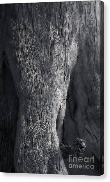 The Elephant Tree Canvas Print by Royce Howland