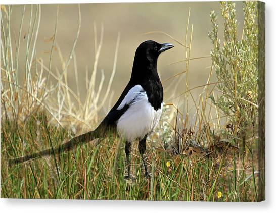 Magpies Canvas Print - The Elusive Magpie by Donna Kennedy
