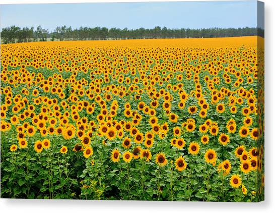 The Field Of Suns Canvas Print