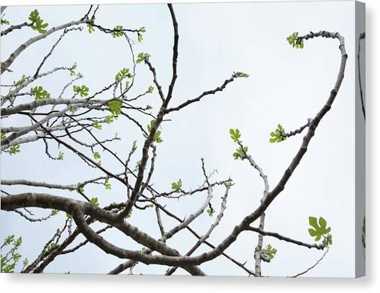 The Fig Tree Budding Canvas Print
