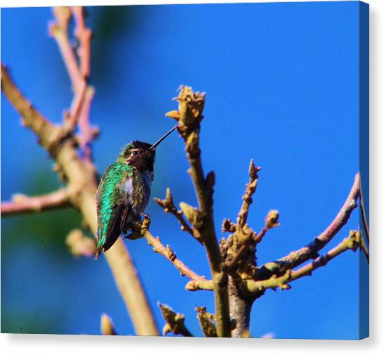 Little Things Canvas Print - The First Hummingbird by Jeff Swan
