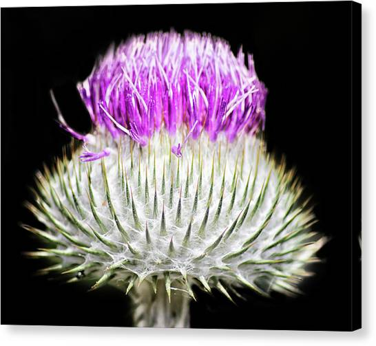 Scotch Canvas Print - The Flower Of Scotland by Martin Newman