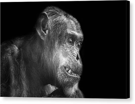 Chimpanzees Canvas Print - The Forced Smile by Martin Newman