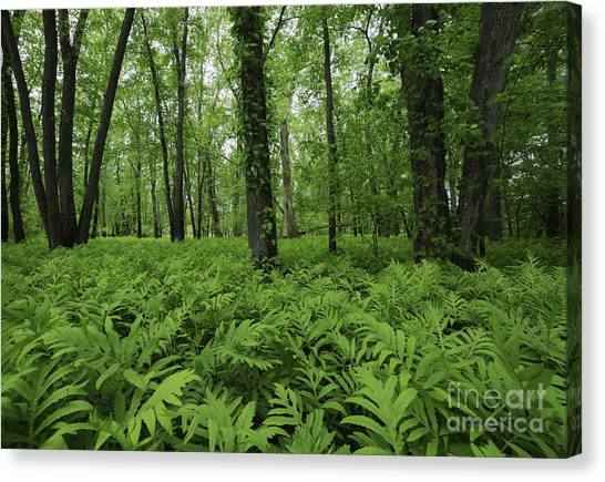 The Forest Of Ferns Canvas Print