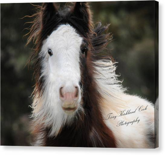 The Fuzziest Gypsy Foal Canvas Print
