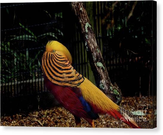 The Golden Pheasant Or Chinese Pheasant -atlanta Ga, Zoo Canvas Print