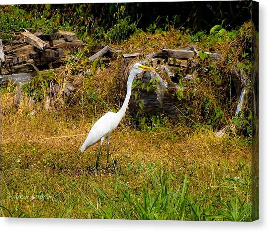 Egret Against Driftwood Canvas Print