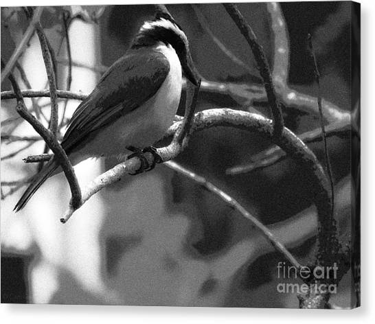 The Great Kiskadee  Canvas Print