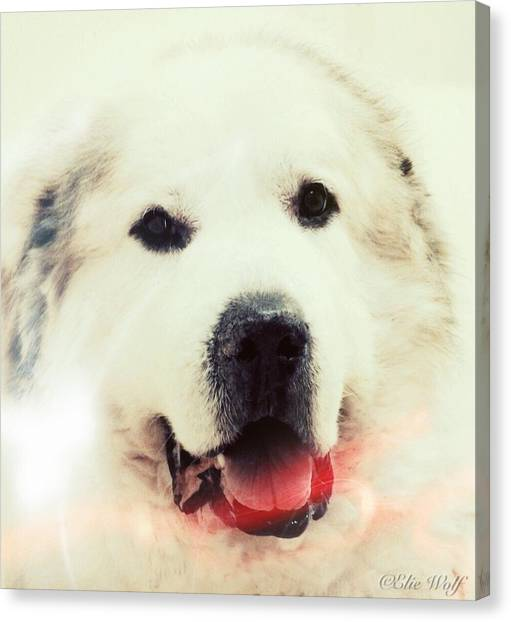 The Great Pyrenean Canvas Print