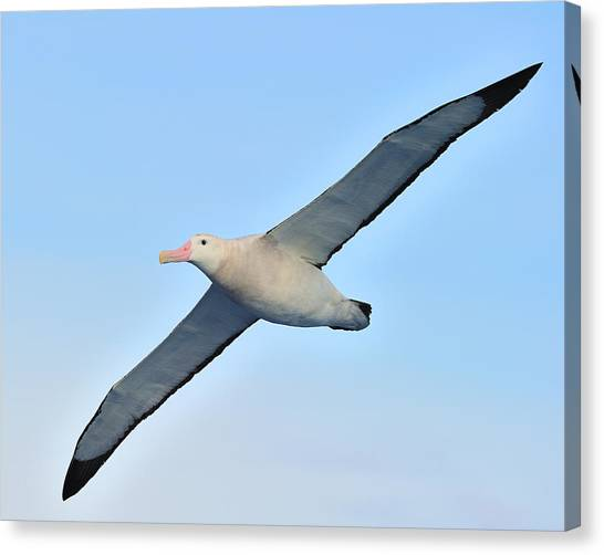 The Greatest Seabird Canvas Print
