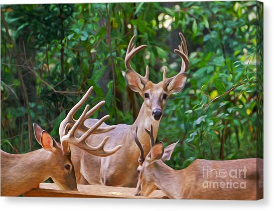 White-tailed Deer Canvas Print - The Guys Grab A Bite by Laura D Young