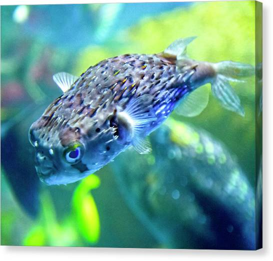 Puffer Canvas Print - The Happy Puffer by Betsy Knapp