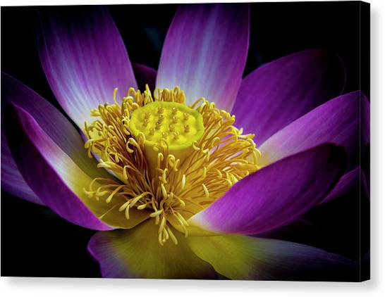 The Heart Of The Lily Canvas Print