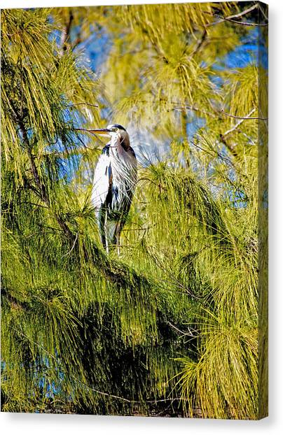 The Heron's Whiskers Canvas Print