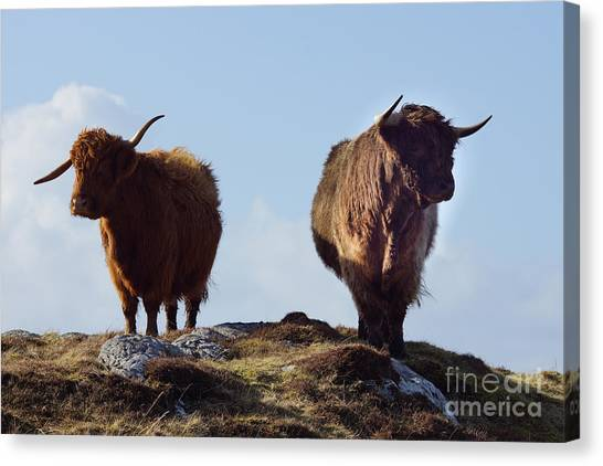 Glen Canvas Print - The Highland Cows by Smart Aviation