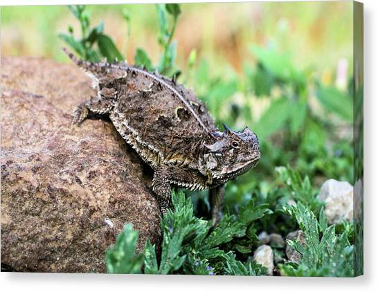 Texas Christian University Canvas Print - The Horned Lizard by Kyle Findley