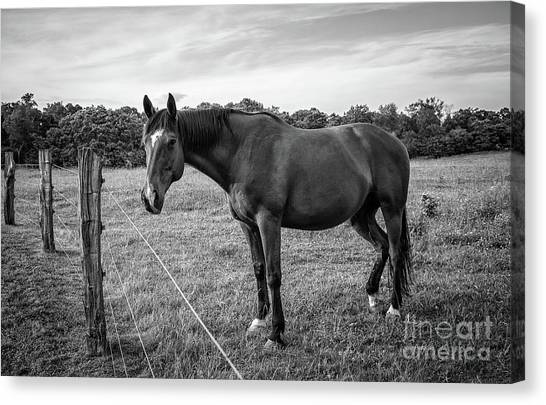the Horses of Blue Ridge 2 Canvas Print