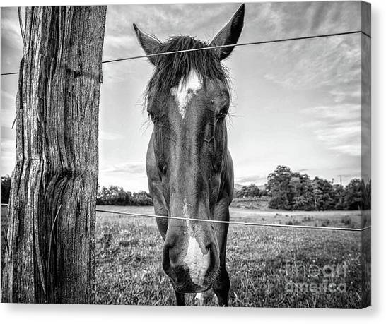 the Horses of Blue Ridge 4 Canvas Print