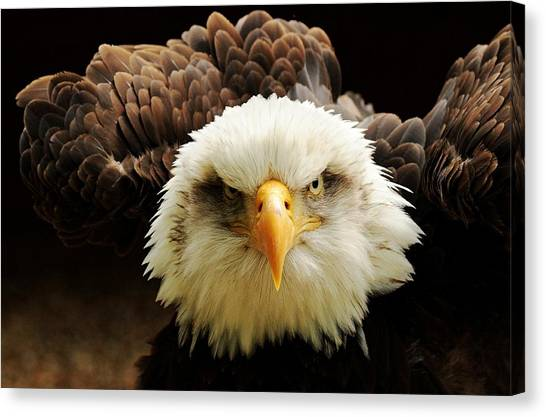 Eagles Canvas Print - The Judge by Tim Kirwan