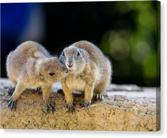 Groundhogs Canvas Print - The Kiss by Edward Myers