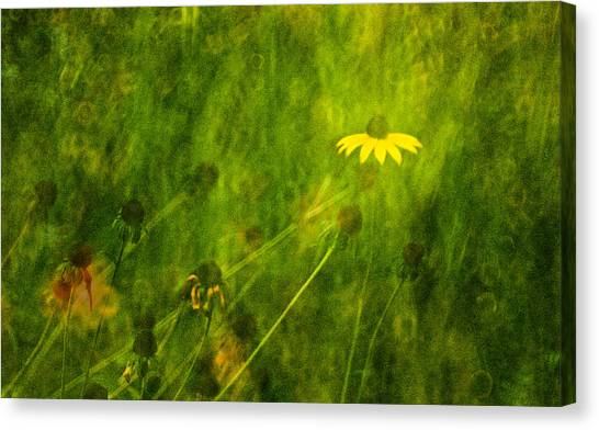 The Last Black-eyed Susan Canvas Print