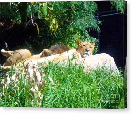 The Lion Awakes Canvas Print