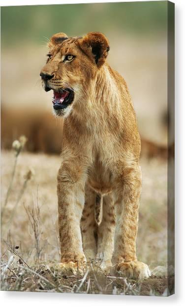 The Lion King Canvas Print by Yuri Peress