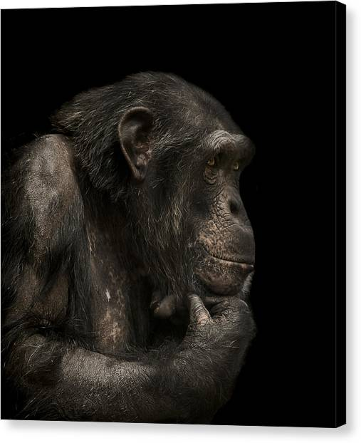 Chimpanzees Canvas Print - The Listener by Paul Neville