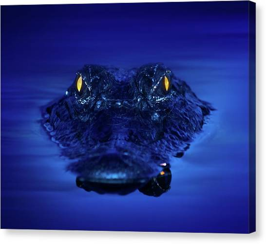 University Of Florida Canvas Print - The Littlest Predator by Mark Andrew Thomas