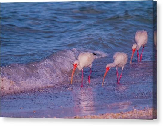 Ibis Canvas Print - The Locals by Betsy Knapp