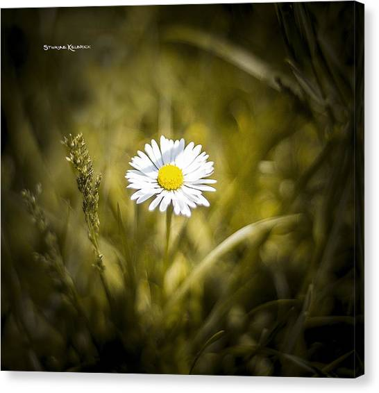 Canvas Print featuring the photograph The Lonely Daisy by Stwayne Keubrick