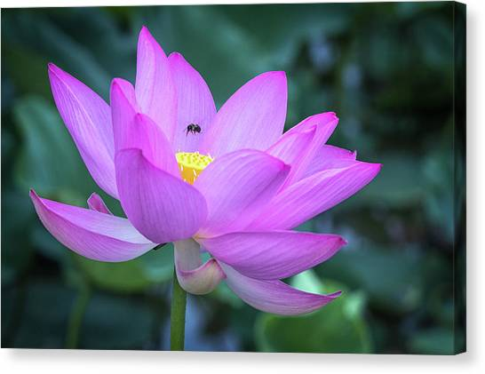 The Lotus And The Bee Canvas Print