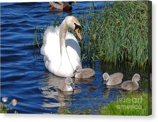 The Lovely Mrs Swan And Family Canvas Print by Doug Thwaites