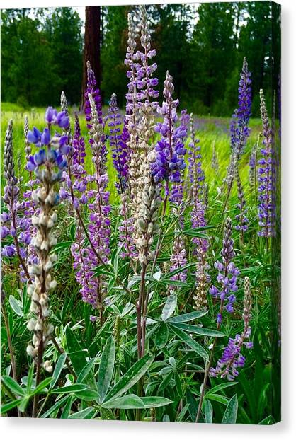 The Lupine Crowd Canvas Print