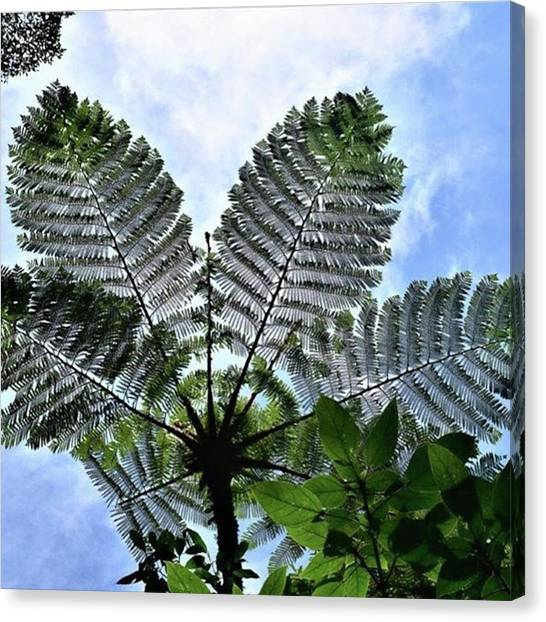 Canvas Print - Large Queen Fern - Puerto Viejo, Costa by In My Click Photography