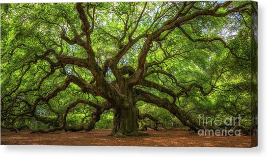 The Magical Angel Oak Tree Panorama  Canvas Print
