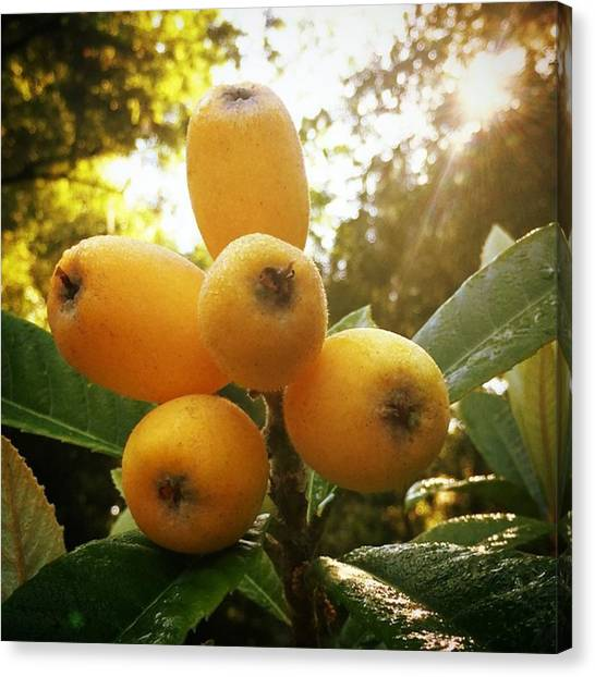 Orchard Canvas Print - The Majestic 'bradenton' Loquat by Jessica O'Toole