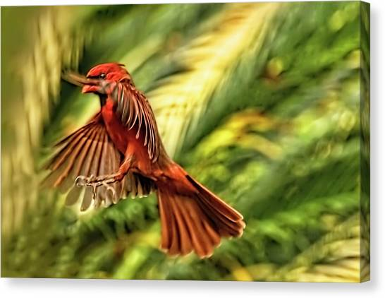 The Male Cardinal Approaches Canvas Print